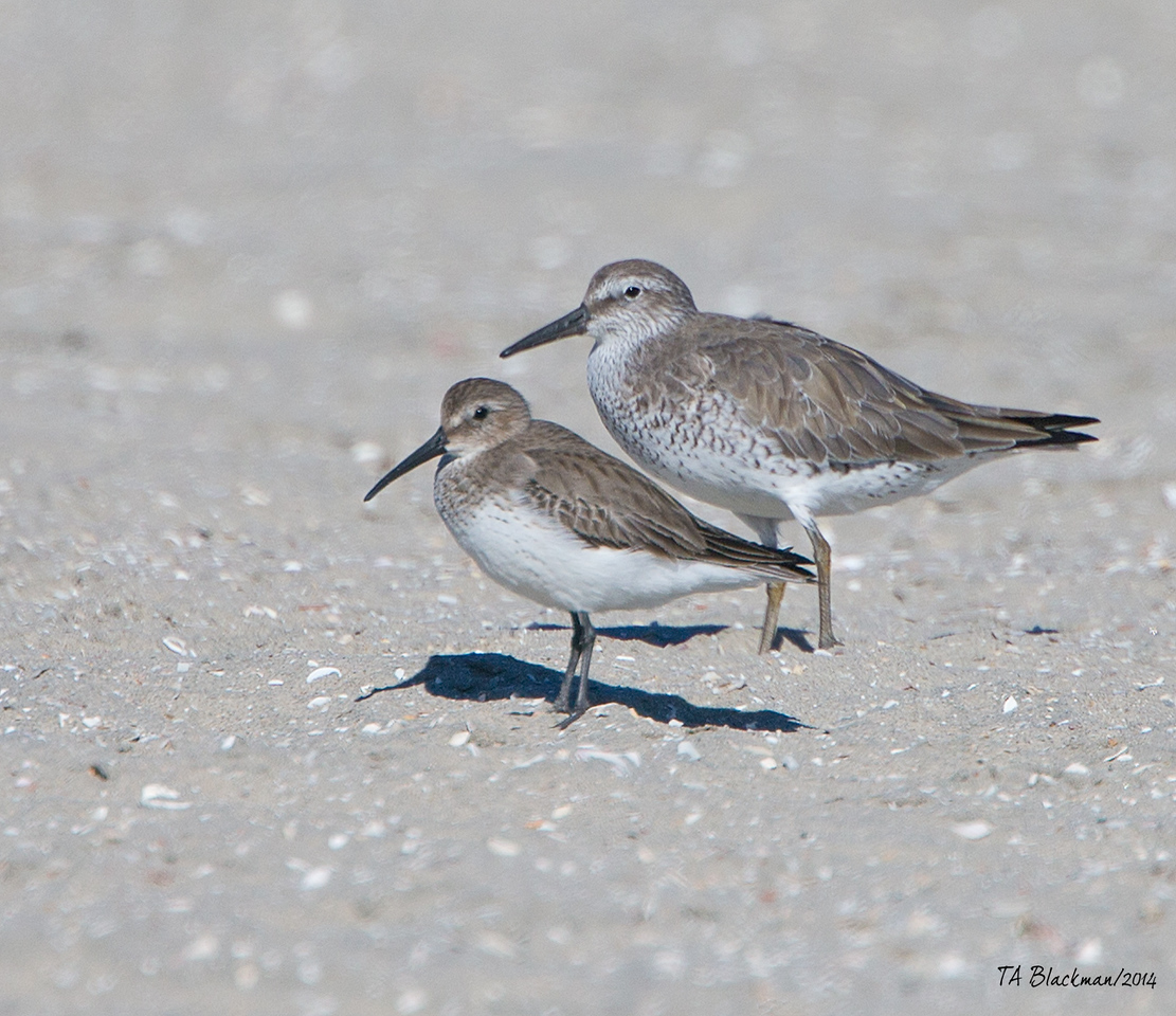Dunlin and Red Knot
