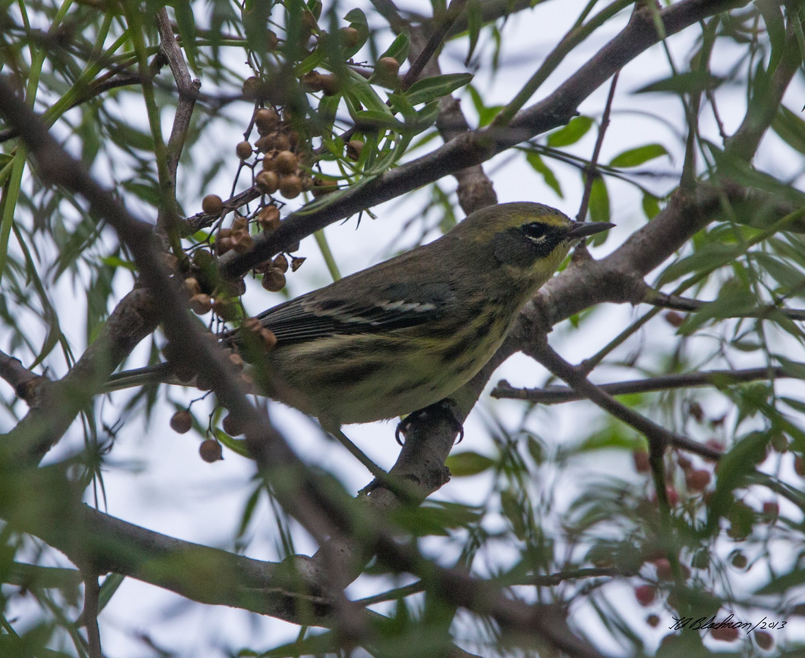 Yellow x Townsend's Warbler
