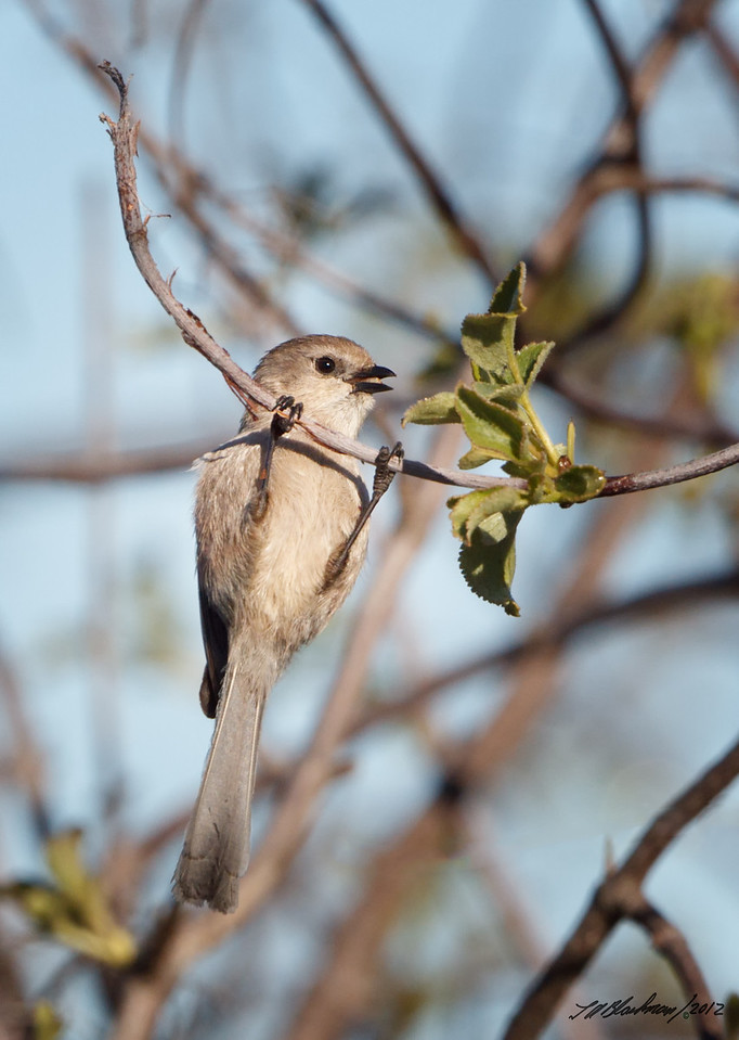 Common Bushtit<br /> Psaltriparus minimus