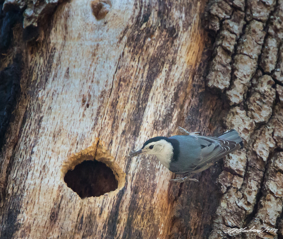 White-breasted Nuthatch<br /> White-breasted Nuthatch<br /> Sitta carolinensis