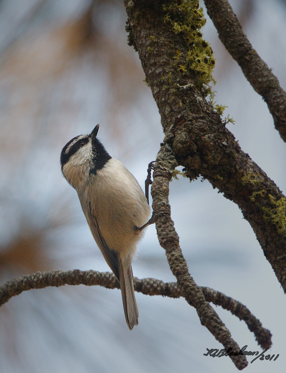 Mountain Chickadee Poecile gambeli