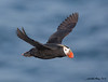 St Paul Island, Alaska : Birds of St Paul Island, Alaska