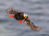 Tufted Puffin Fratercula cirrhata