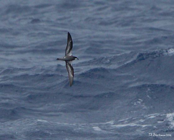 Magnificent Petrel