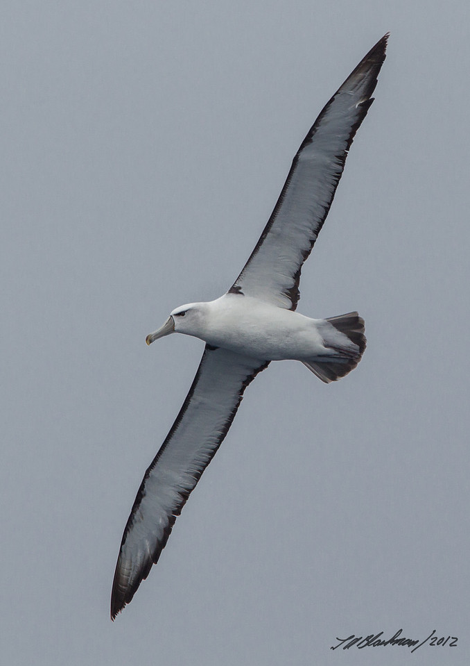 White-capped Albatross