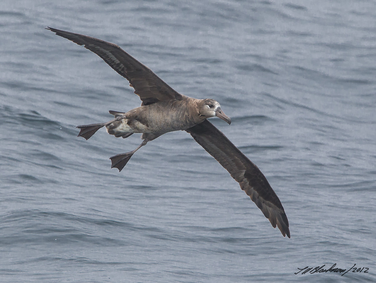 Black-footed Albatross Phoebastria nigripes