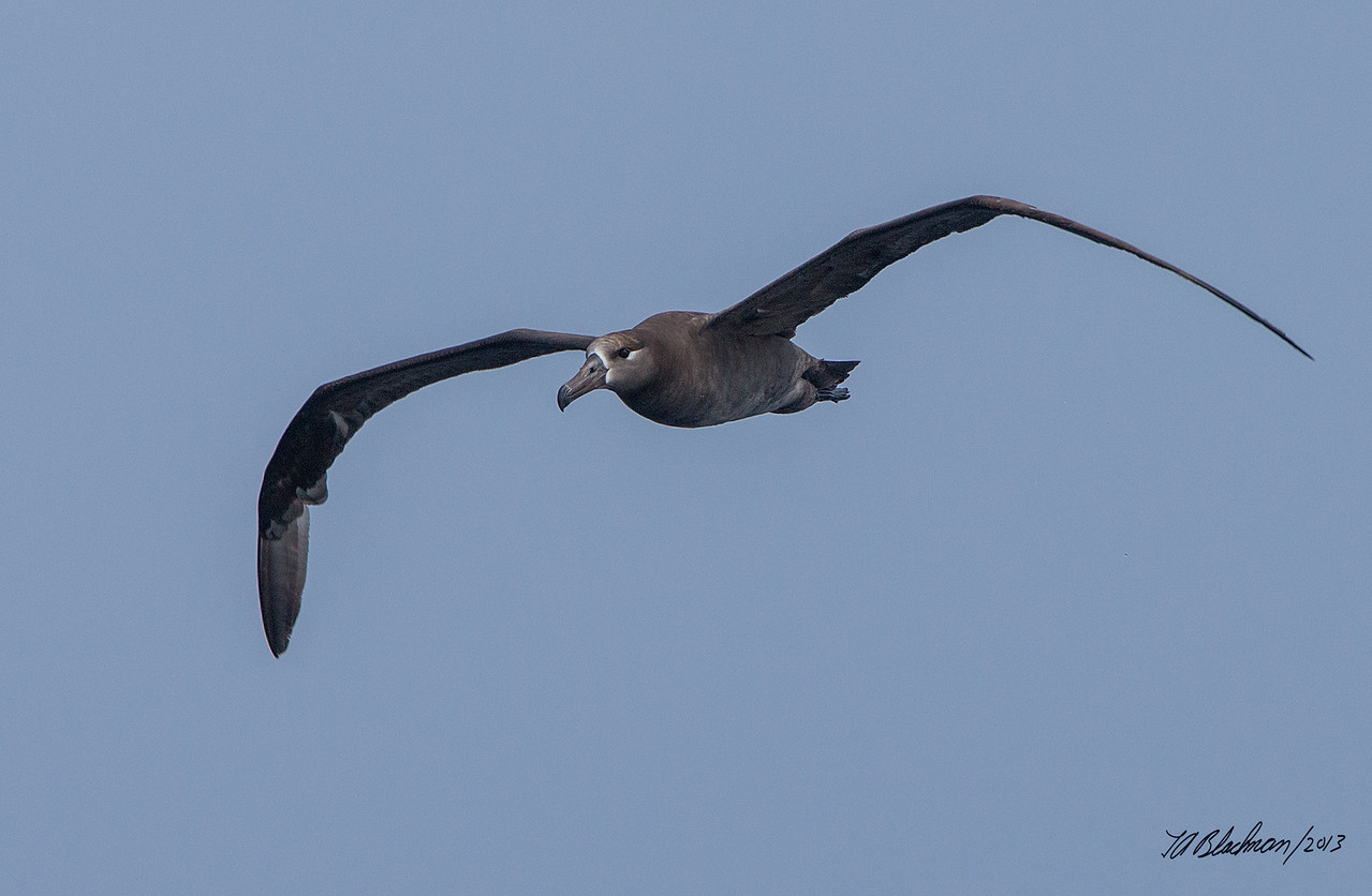 Albatross_Black-footed TAB131DX-14980