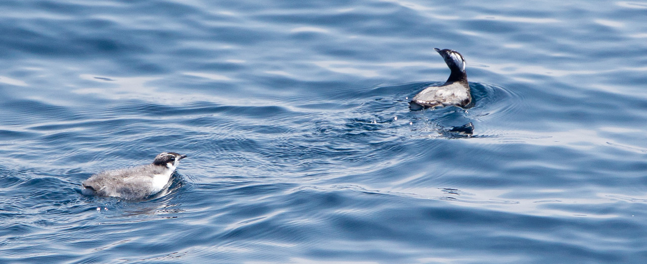Japaneese Murrelet Synthliboramphus wumizusume