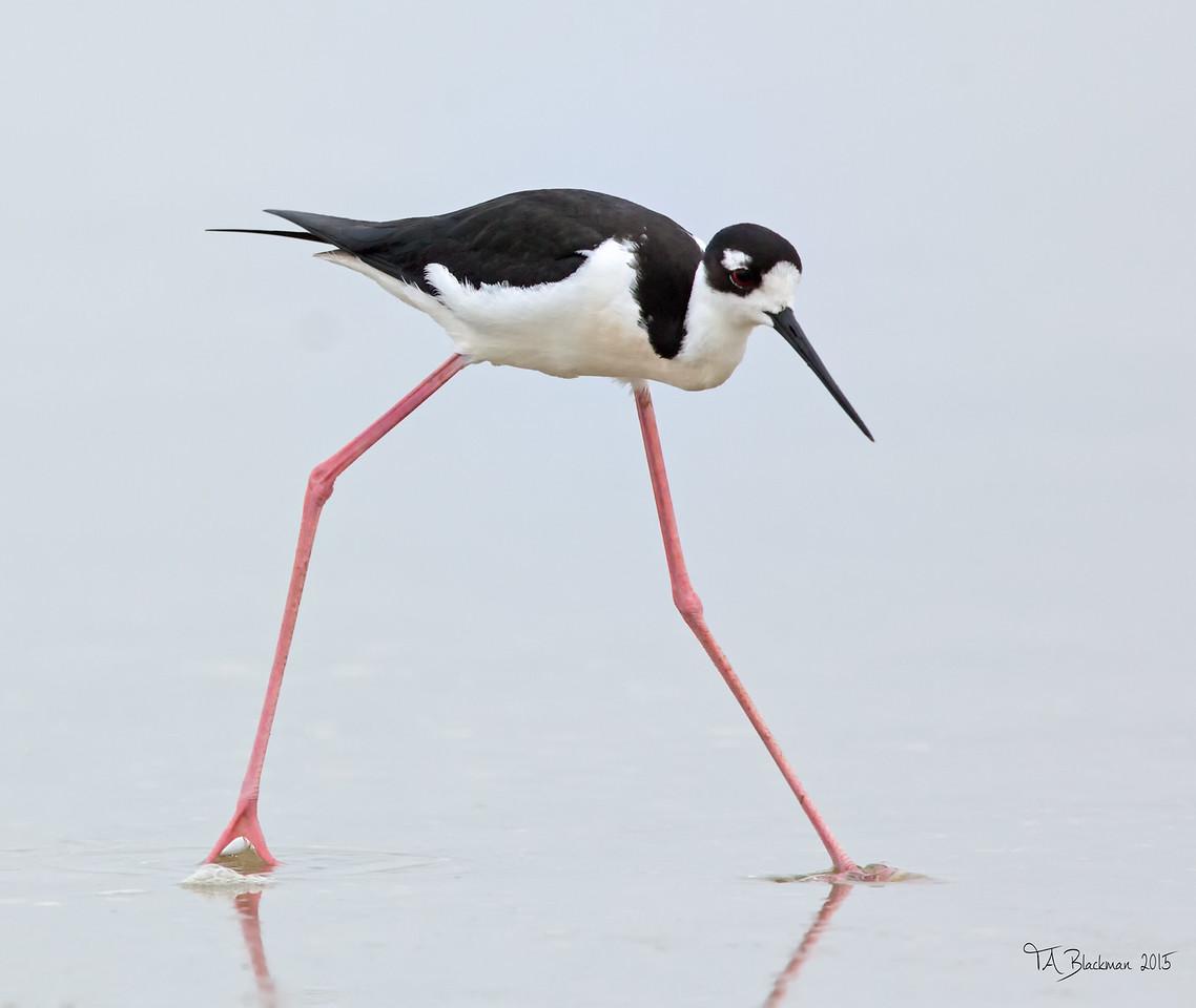 Black -necked Stilt