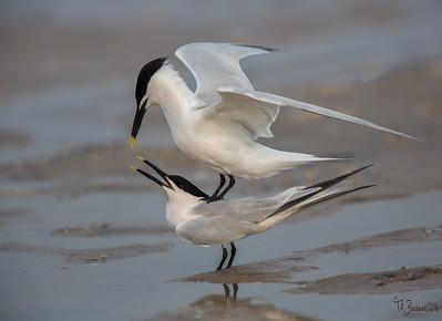 Sandwitch Tern