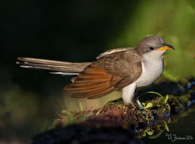 Yellow-biled Cuckoo