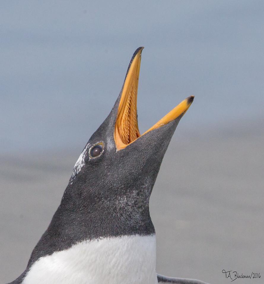 Penguin_Gentoo TAB161DX-06415-Edit
