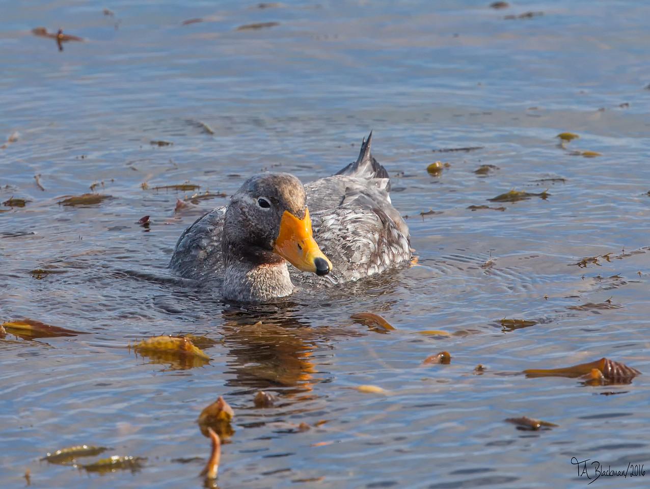 Falkland Steamer Duck