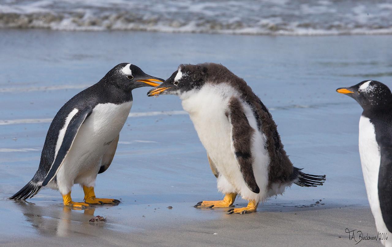 Gentoo Penguin juv