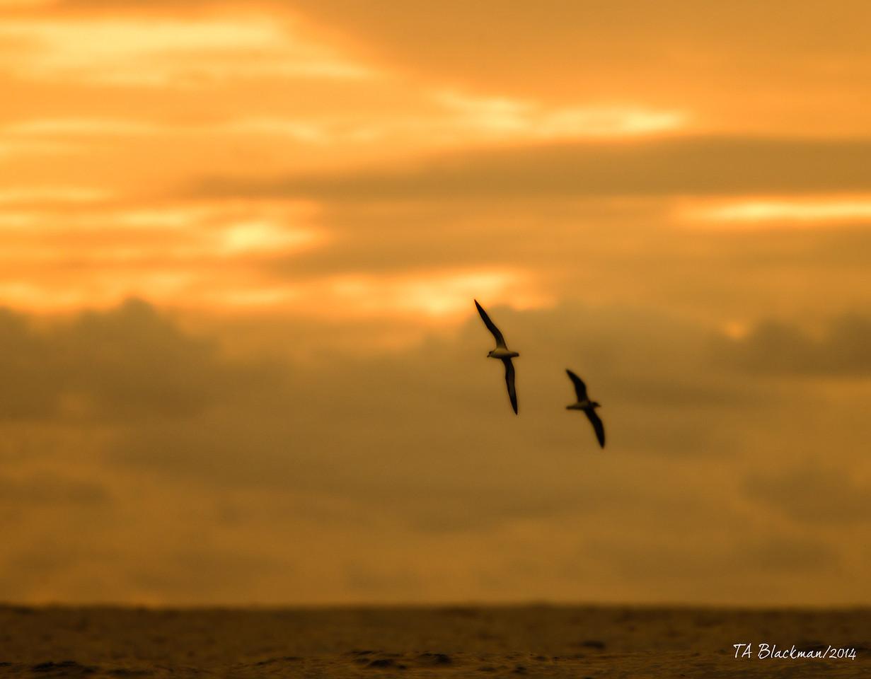 Sunset Vanuatu Petrels