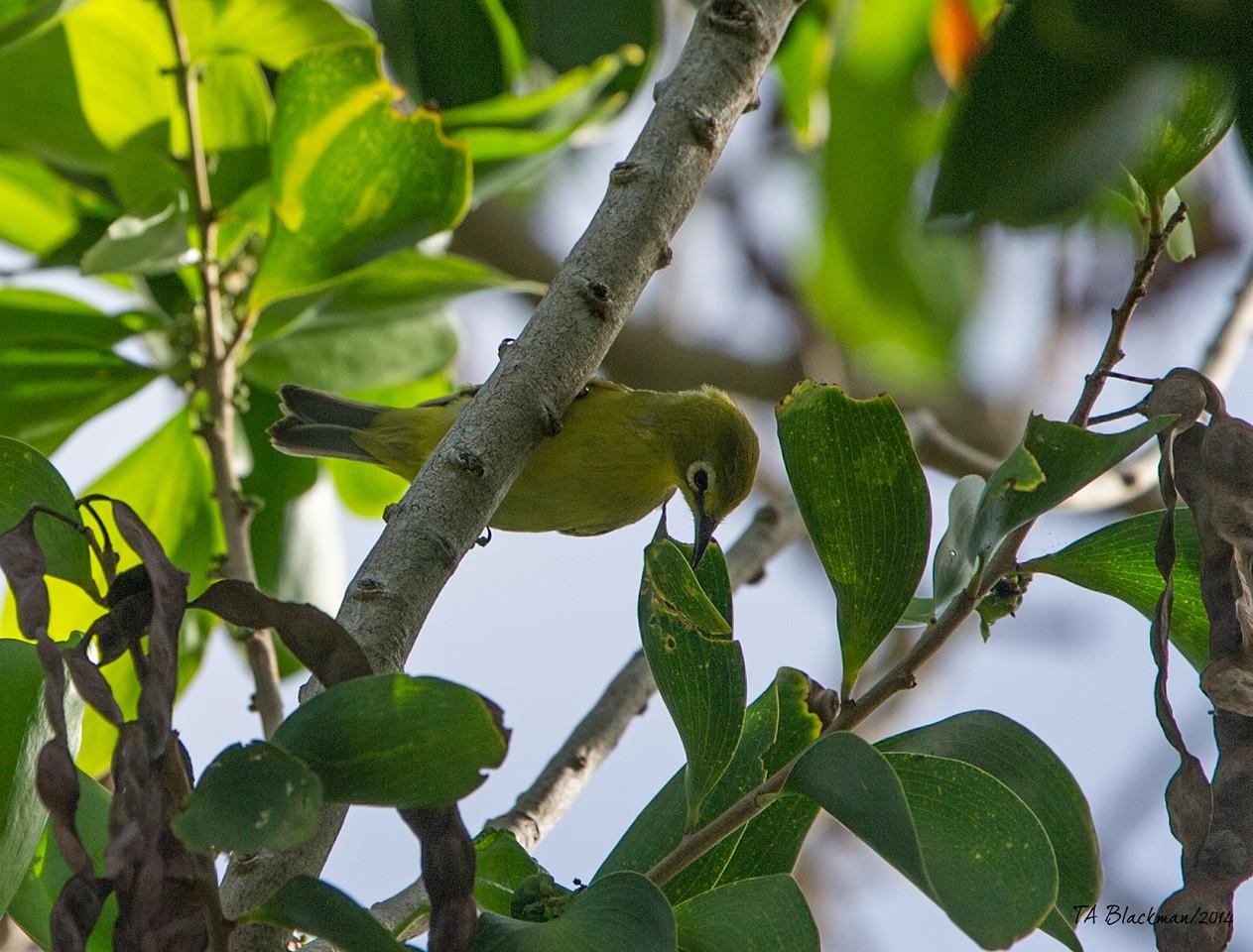 Vanuatu Whiteye