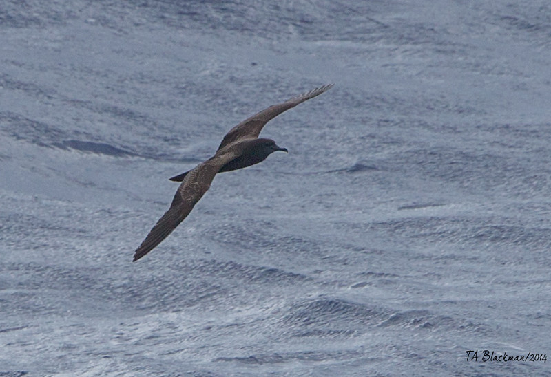 Wedgetail Shearwater