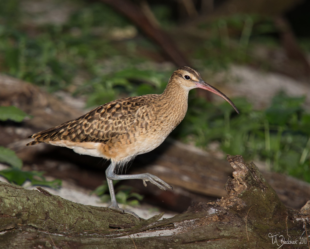 Curlew_Bristle-thighted TAB10MK4-10252-Edit